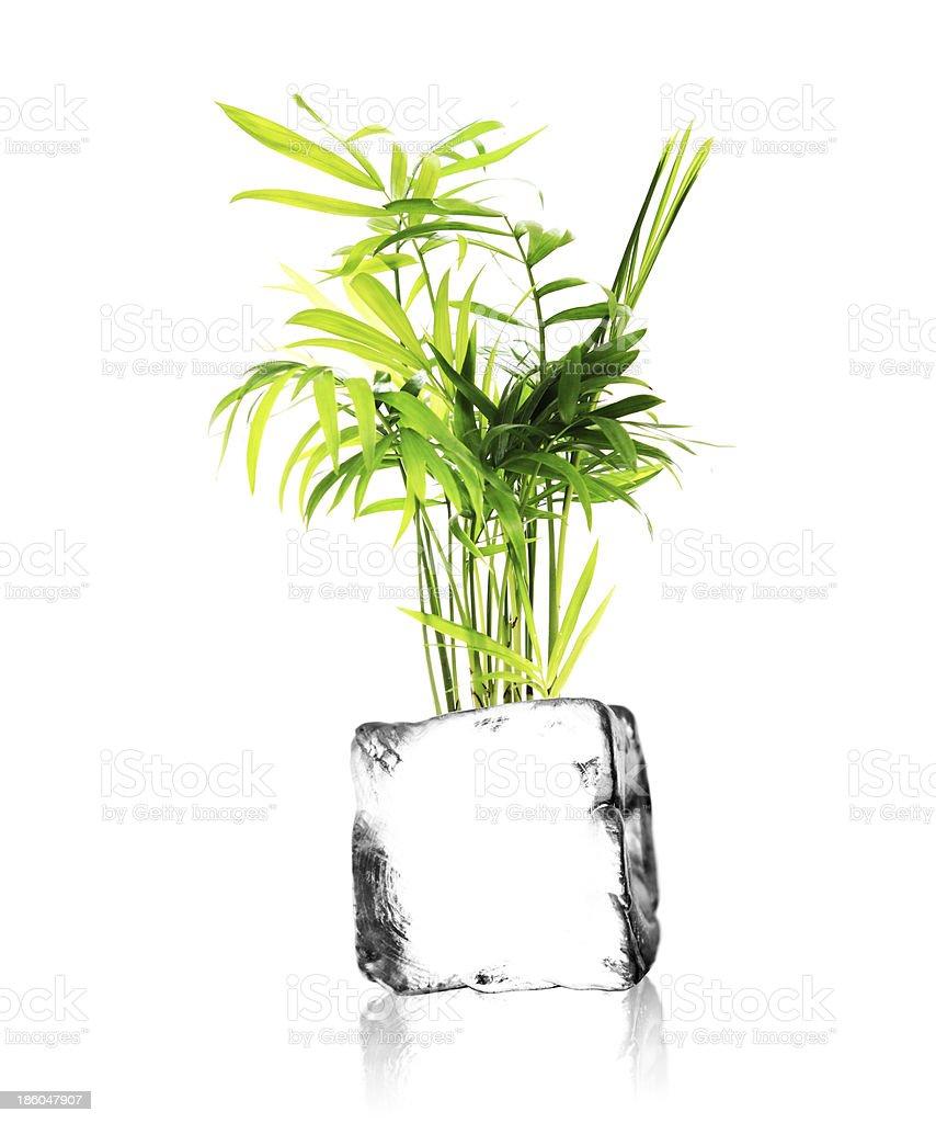 Pflanze auf Eisw?rfel stock photo