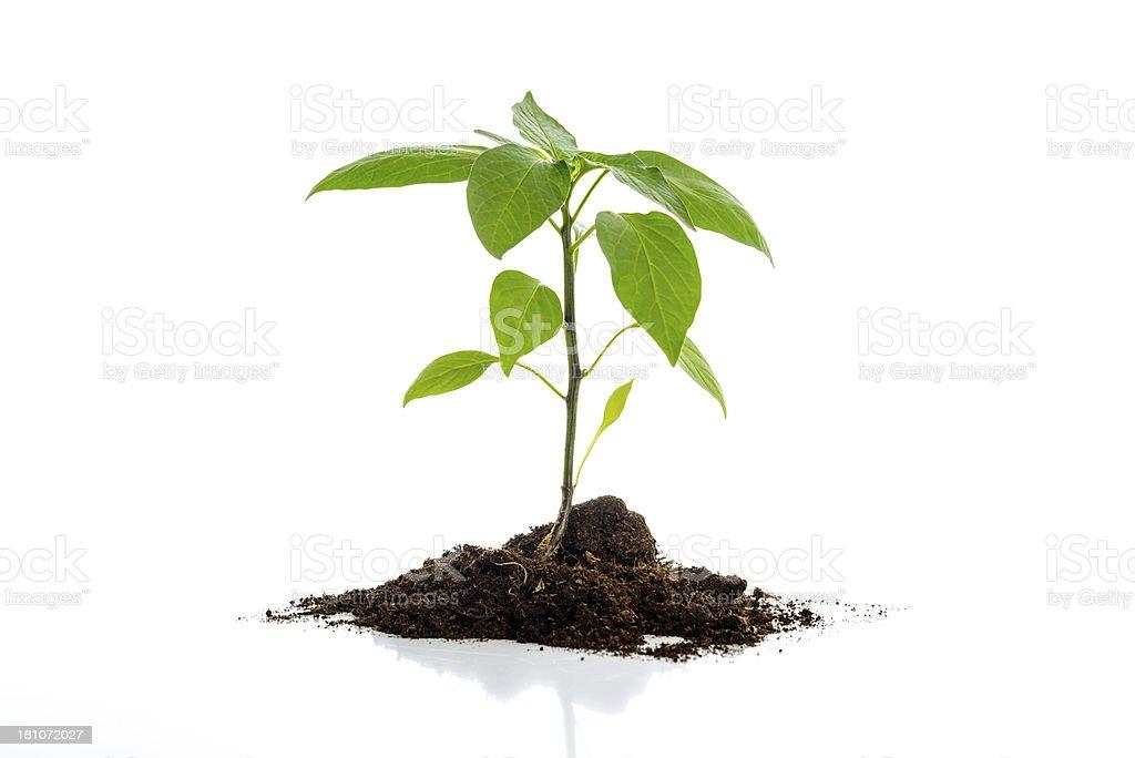 Plant on white royalty-free stock photo