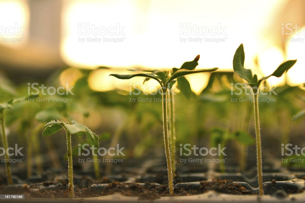 Plant propagation. royalty-free stock photo