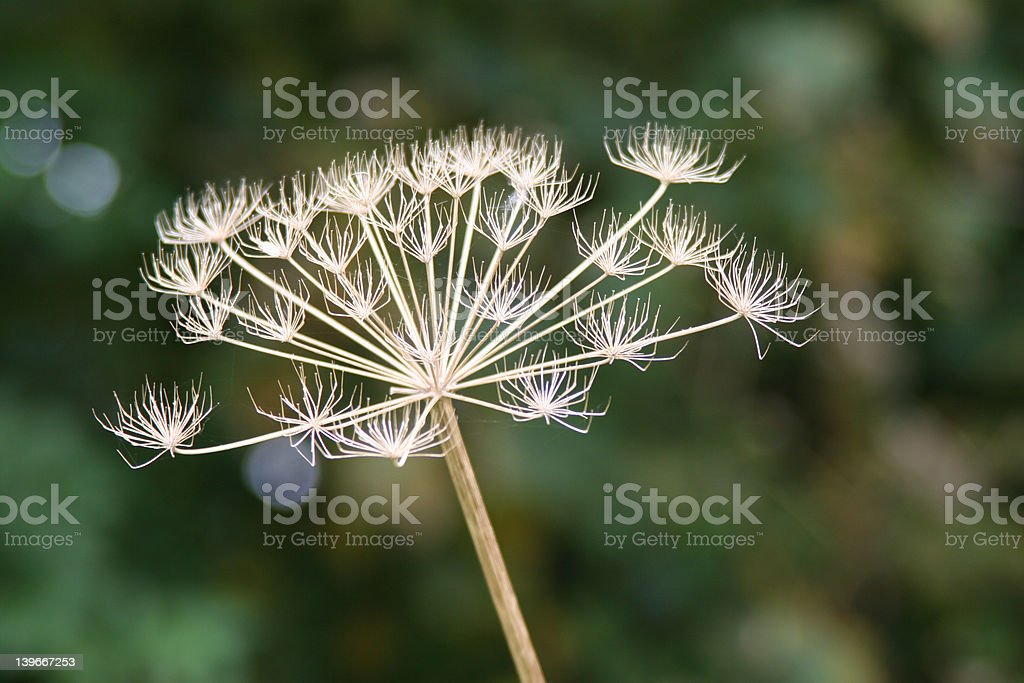 Plant seedhead stock photo