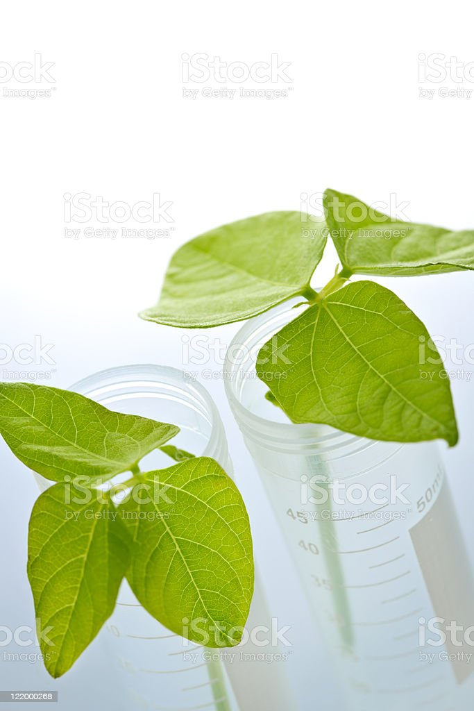 GM plant seedlings in test tubes royalty-free stock photo
