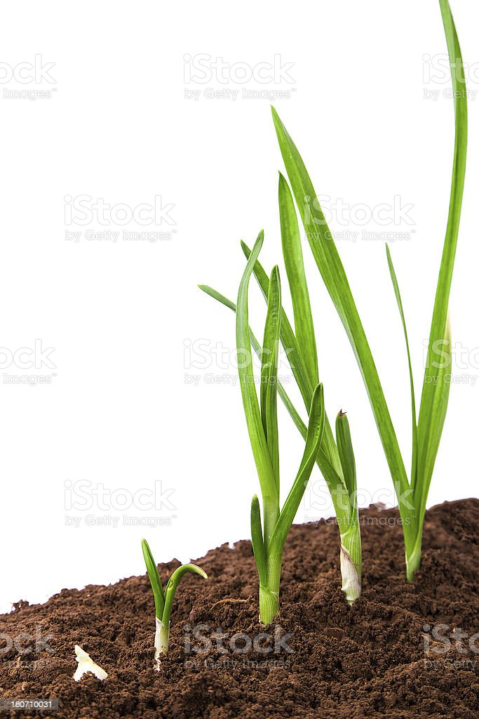 Plant Sequence in dirt:green garlic isolate on white background royalty-free stock photo
