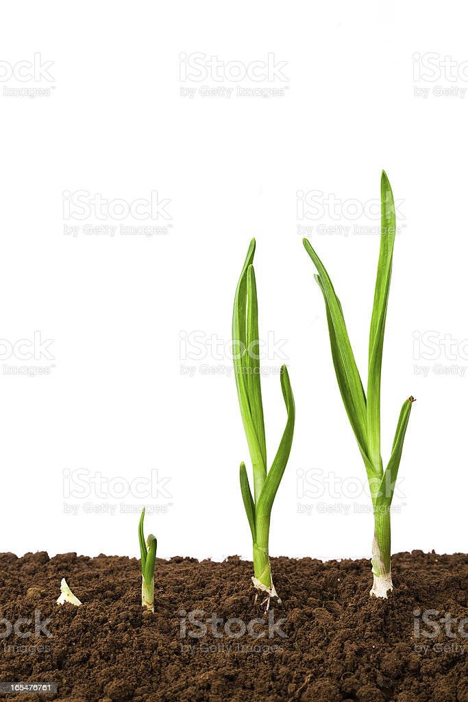 Plant Sequence in dirt:green garlic isolated on white background stock photo