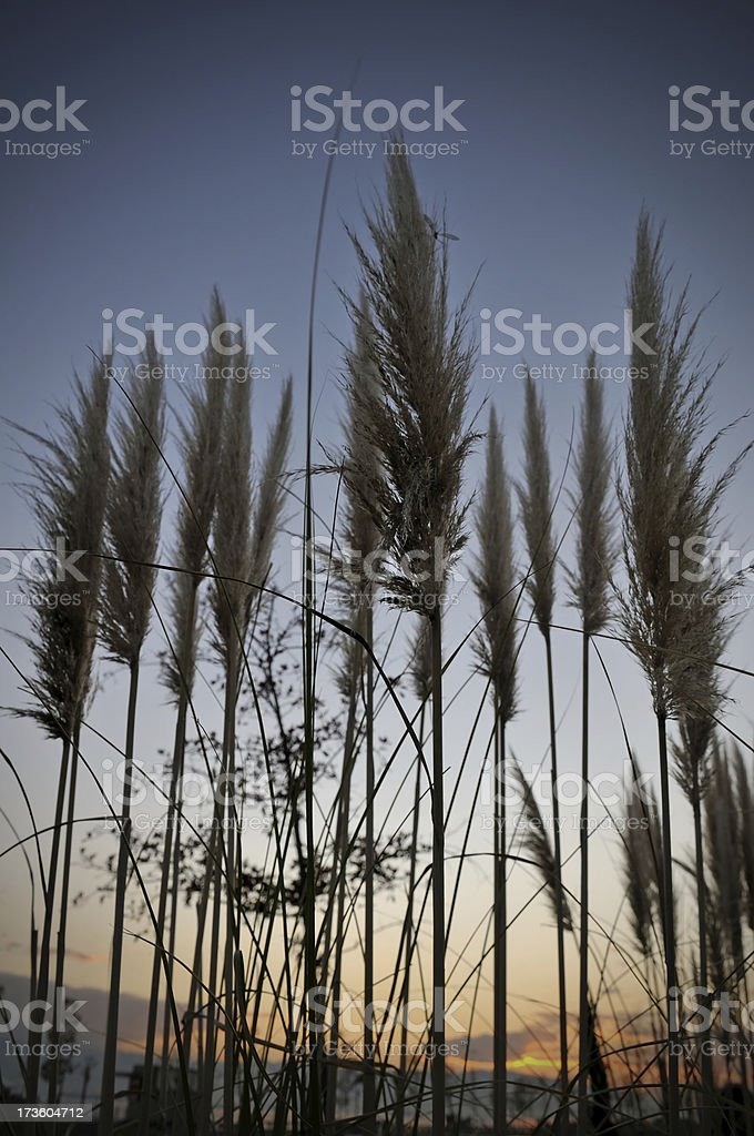 plant silhouette on the sunset royalty-free stock photo