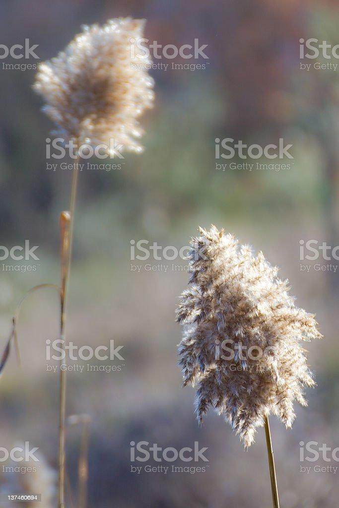Plant topknot. royalty-free stock photo