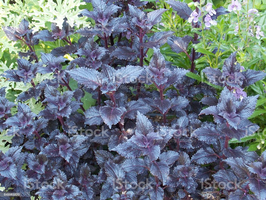 Plant with Iridescent Leaves stock photo