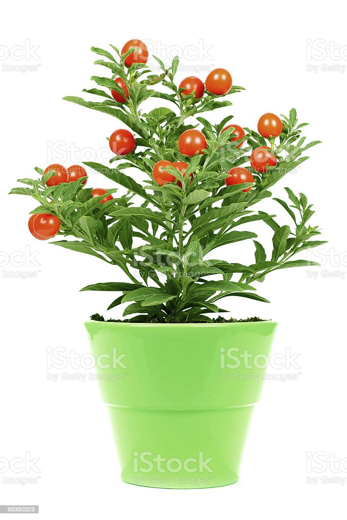 plant with red fruit royalty-free stock photo