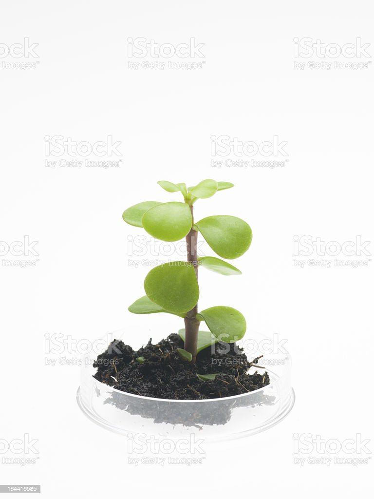 plant with soil growing in petri dish stock photo