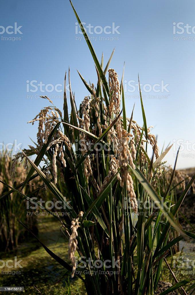 Planta de arroz stock photo