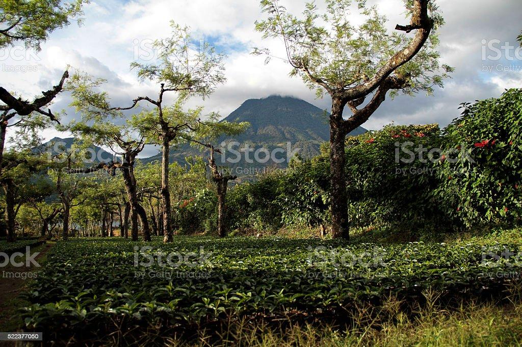 Plantación de Café stock photo