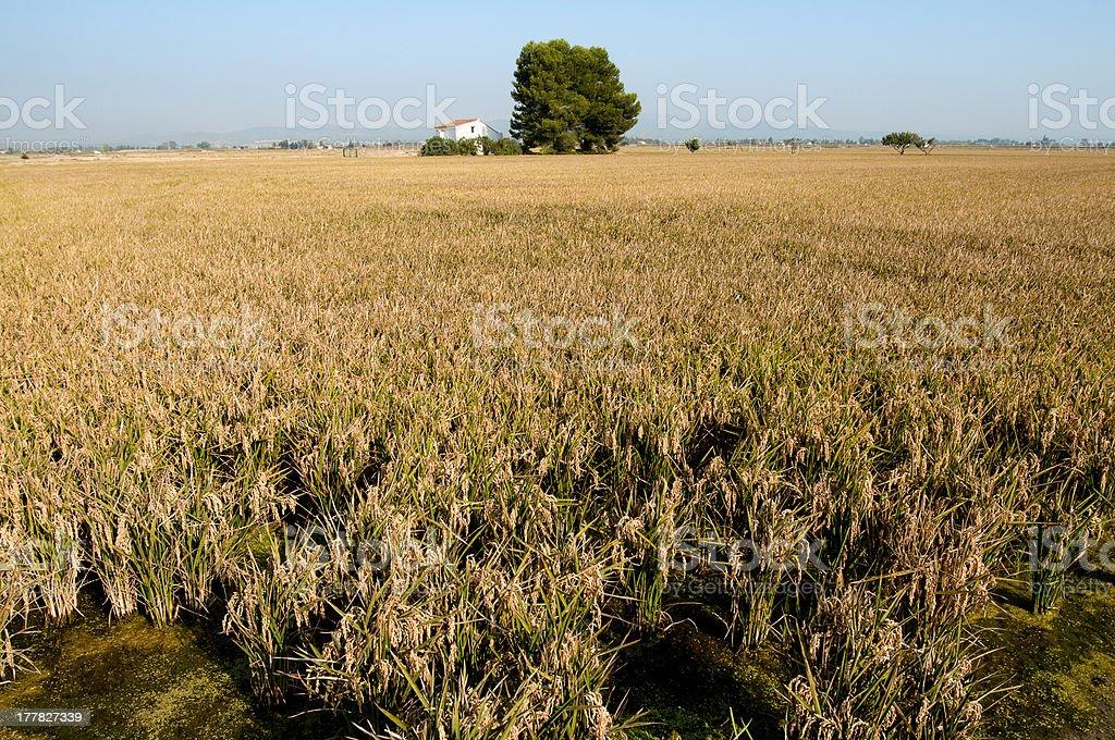 plantacion de arroz stock photo