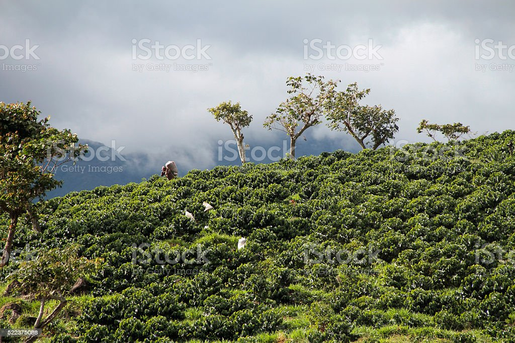 Plantaciones de Café stock photo