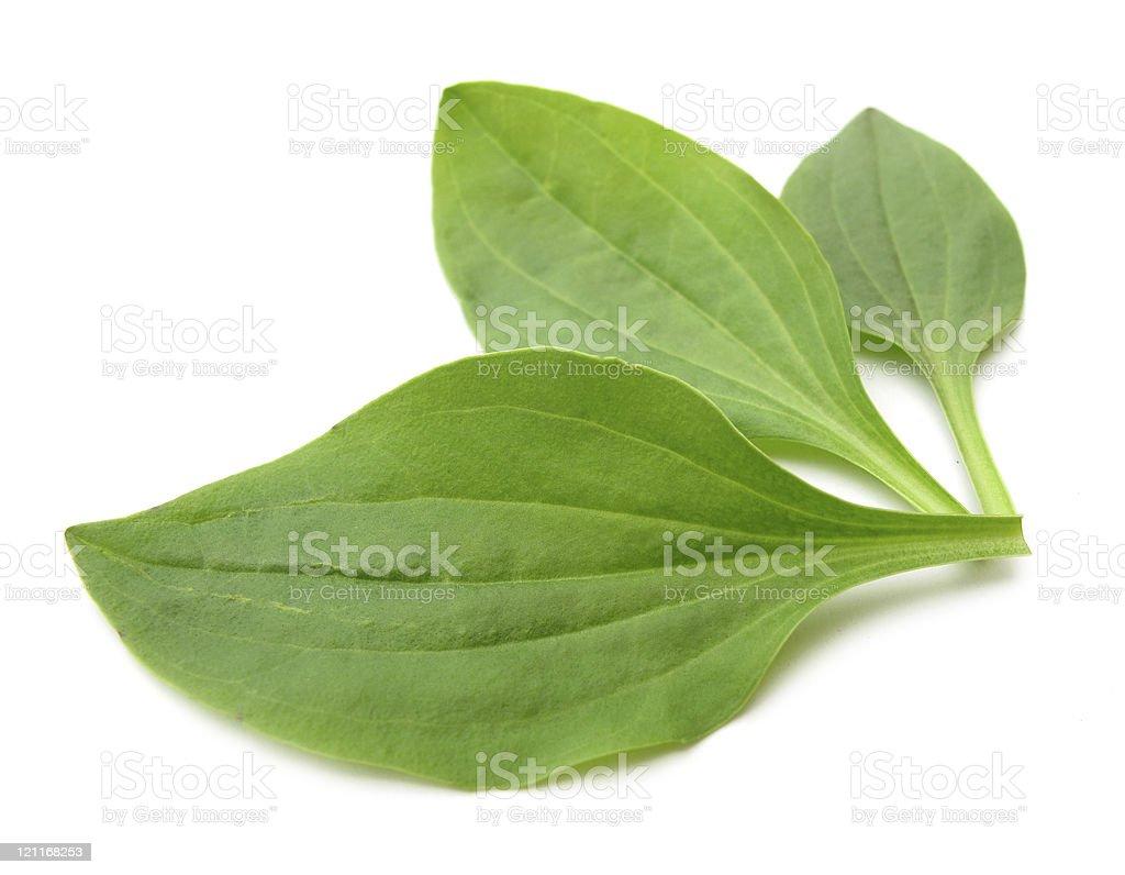 Plantago major Greater plantain royalty-free stock photo