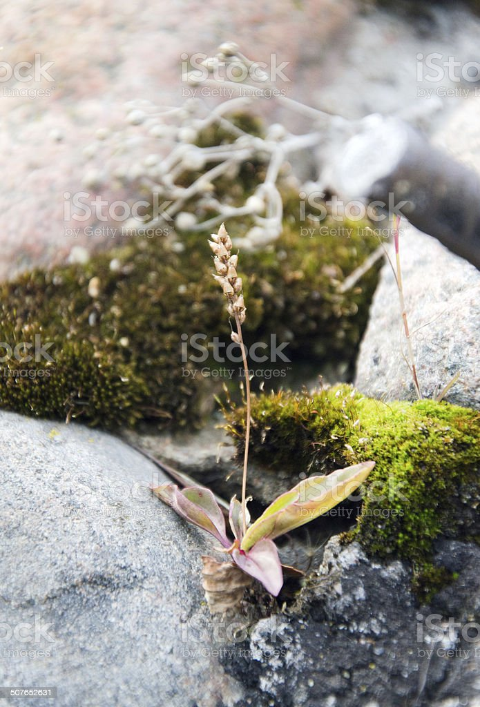 Plantago foto de stock royalty-free