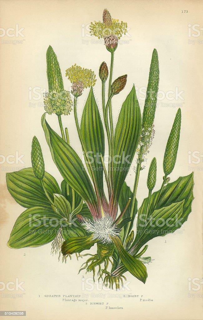 Plantain, Banana, Ribwort, Greater Plantain, Victorian Botanical Illustration stock photo