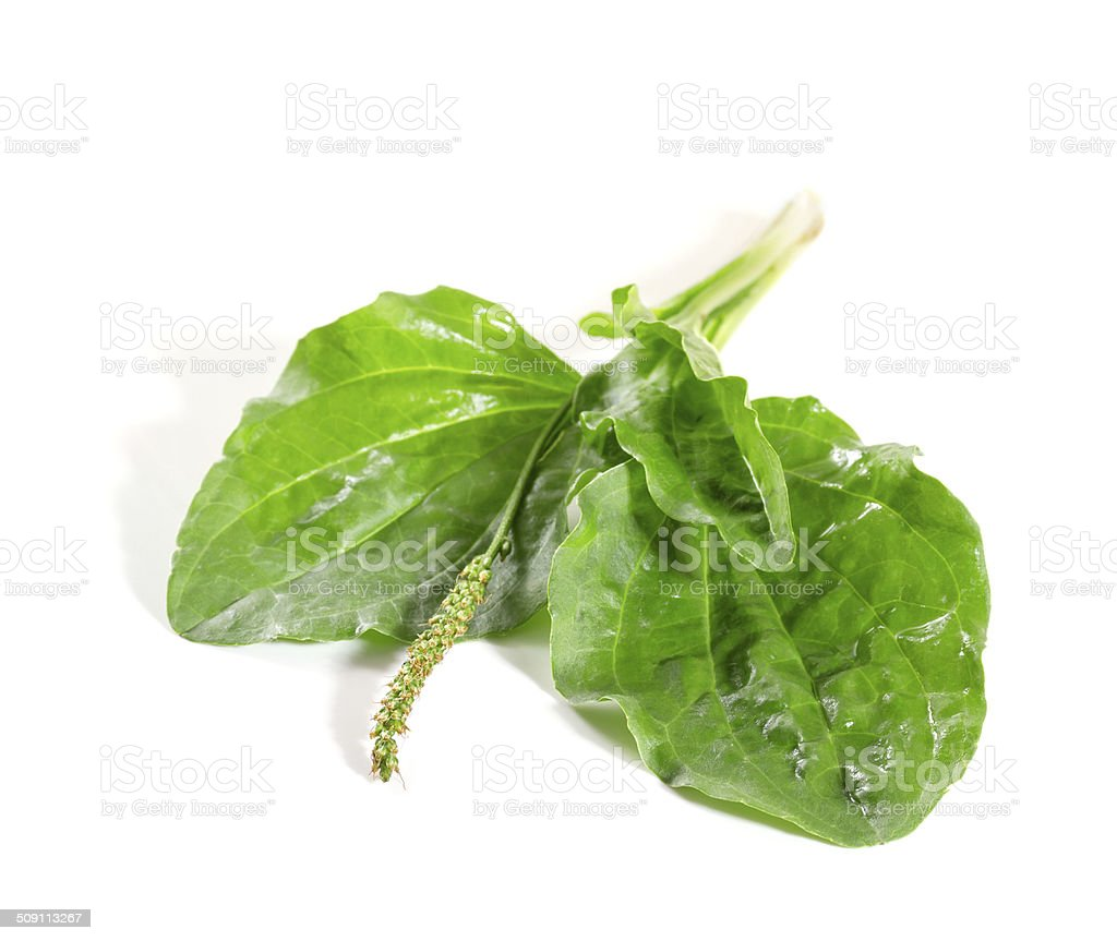 Plantain leaves stock photo