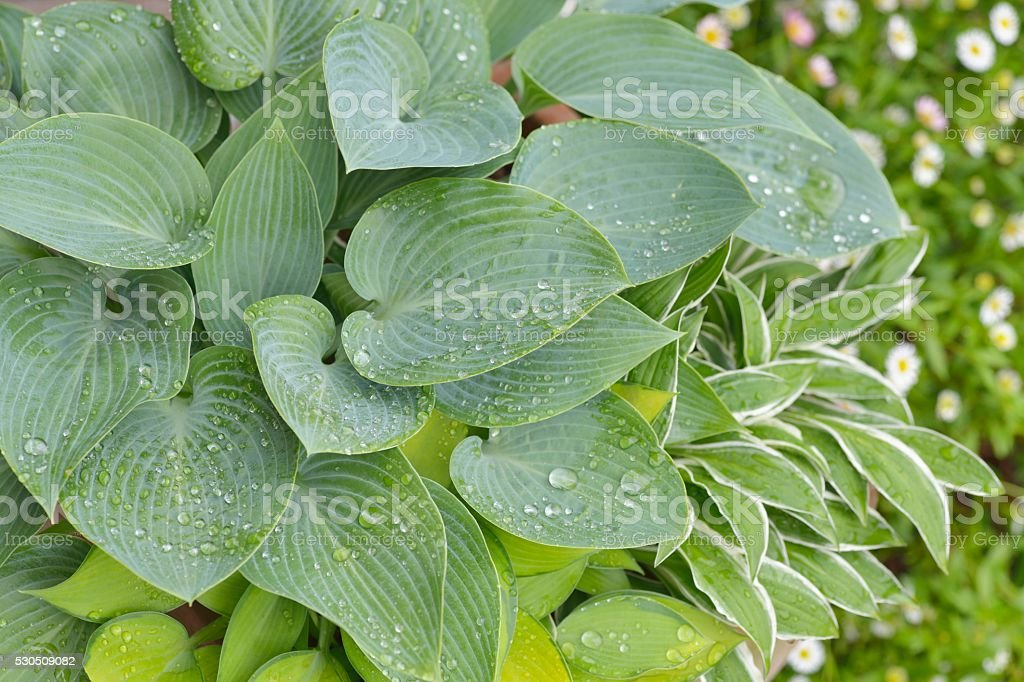 Plantain Lily Leaves with Water drops stock photo