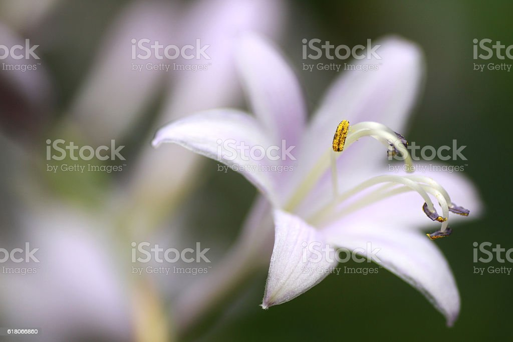 Plantain lily stock photo