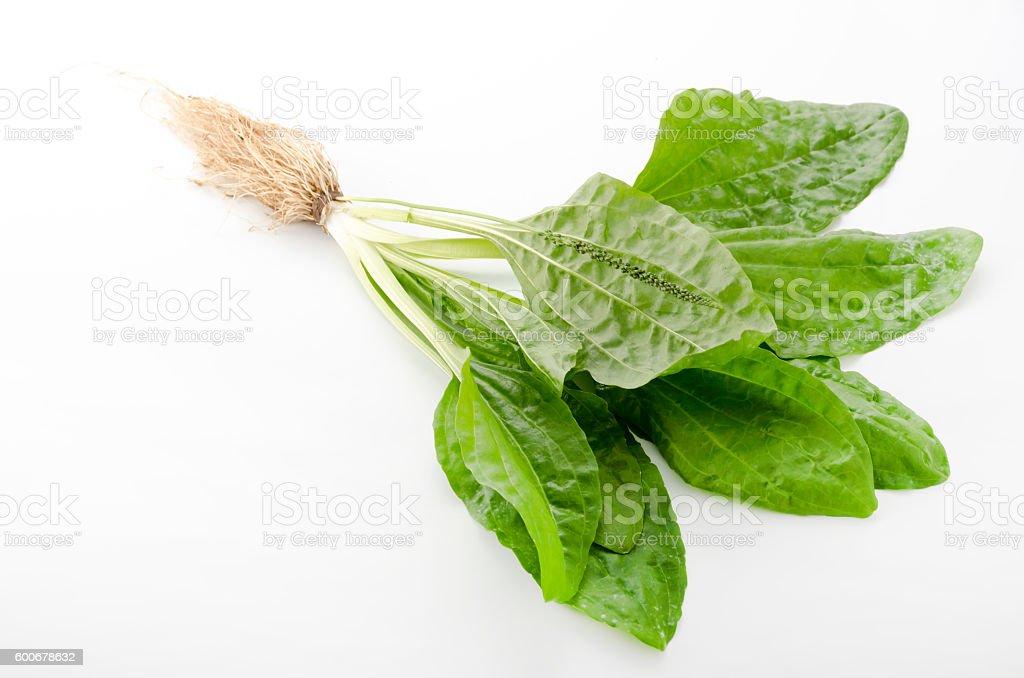 Plantain stock photo