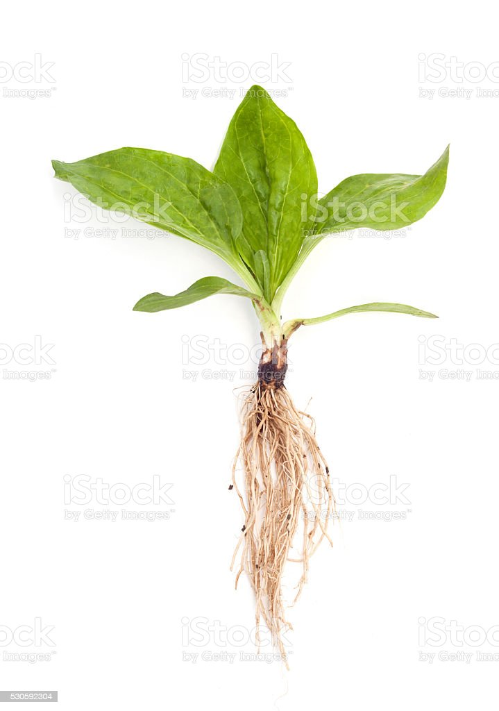 plantain with root isolated stock photo