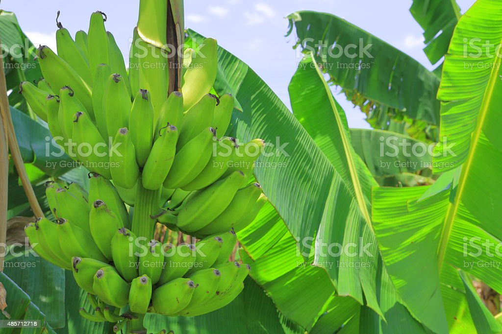 Plantains Plant stock photo
