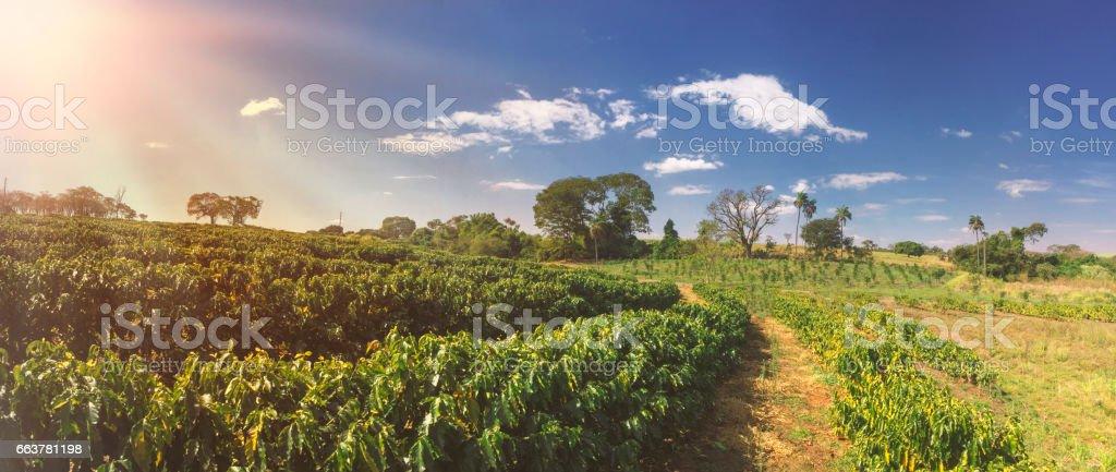 Plantation - Coffee field landscape stock photo