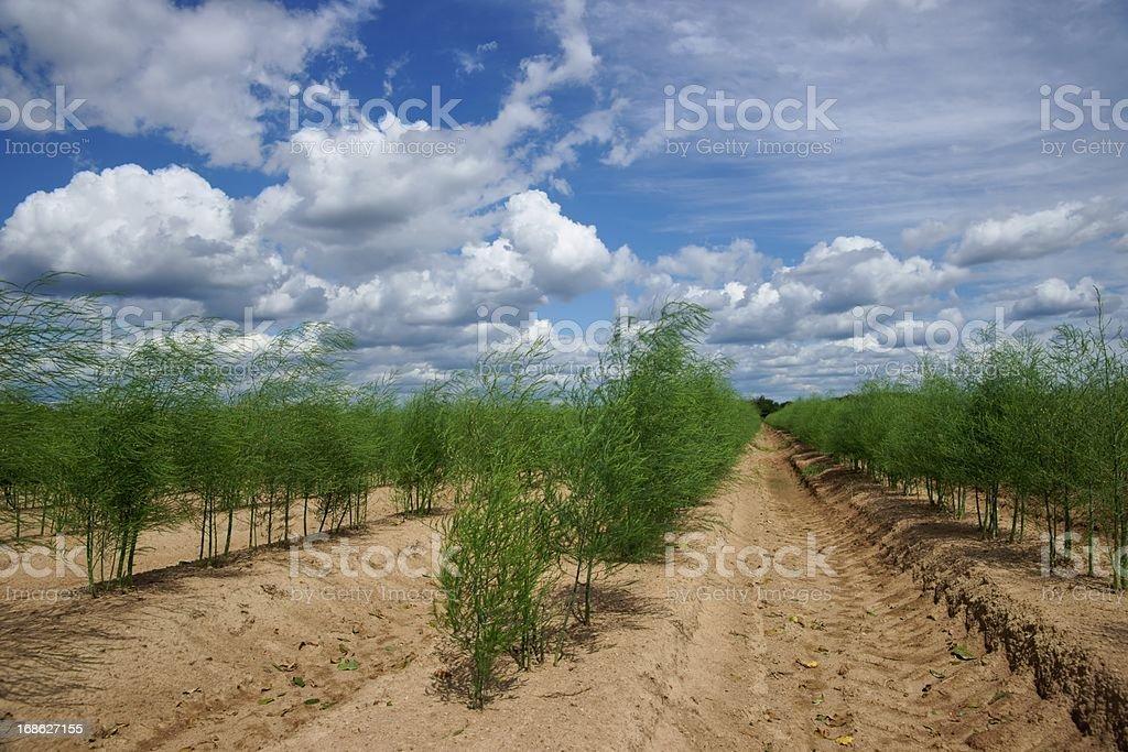 Plantation of asparagus royalty-free stock photo