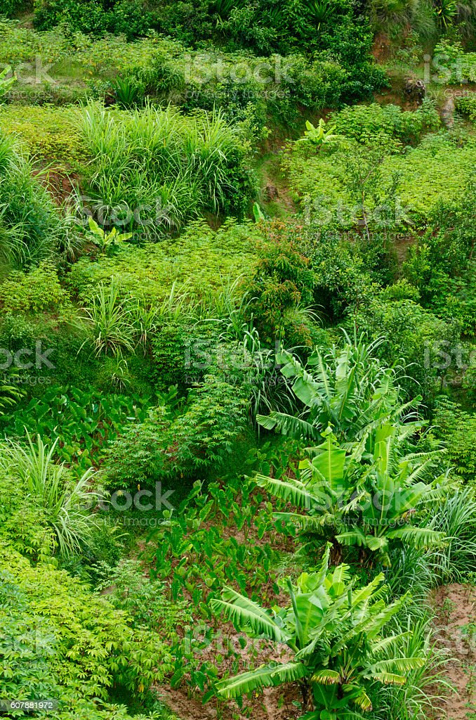 Plantation of banana, sugar cane, cassava and yam in terrace stock photo