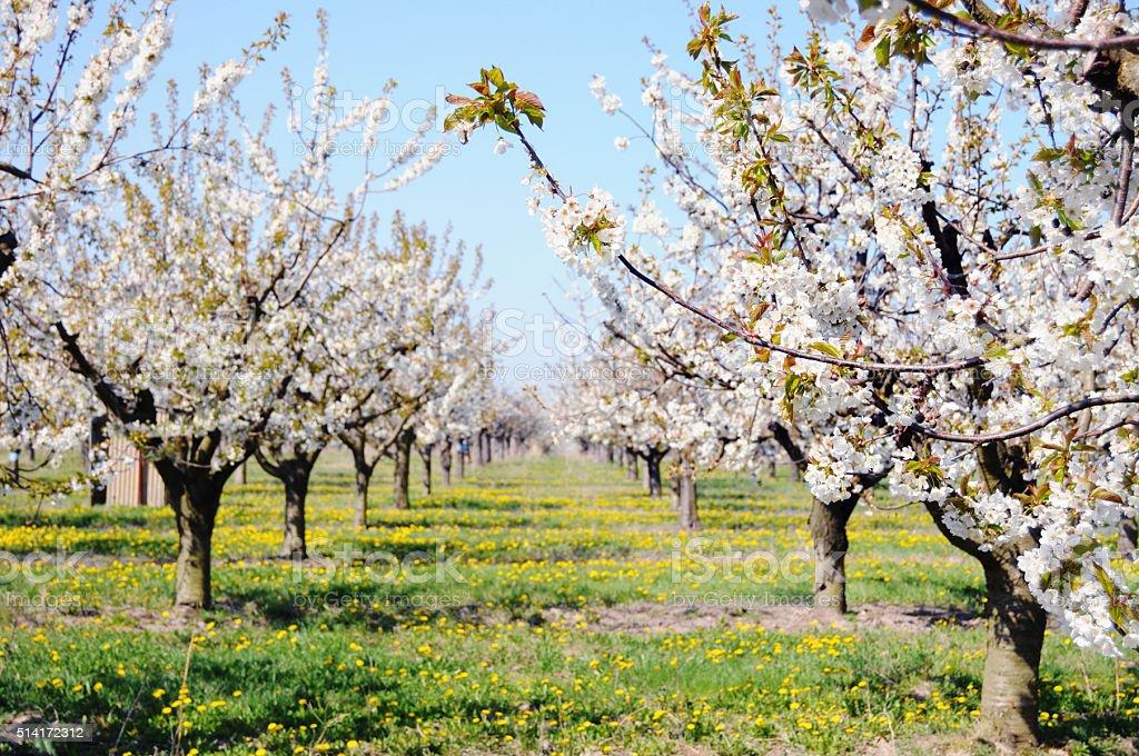 plantation of cherry tree in blossom stock photo