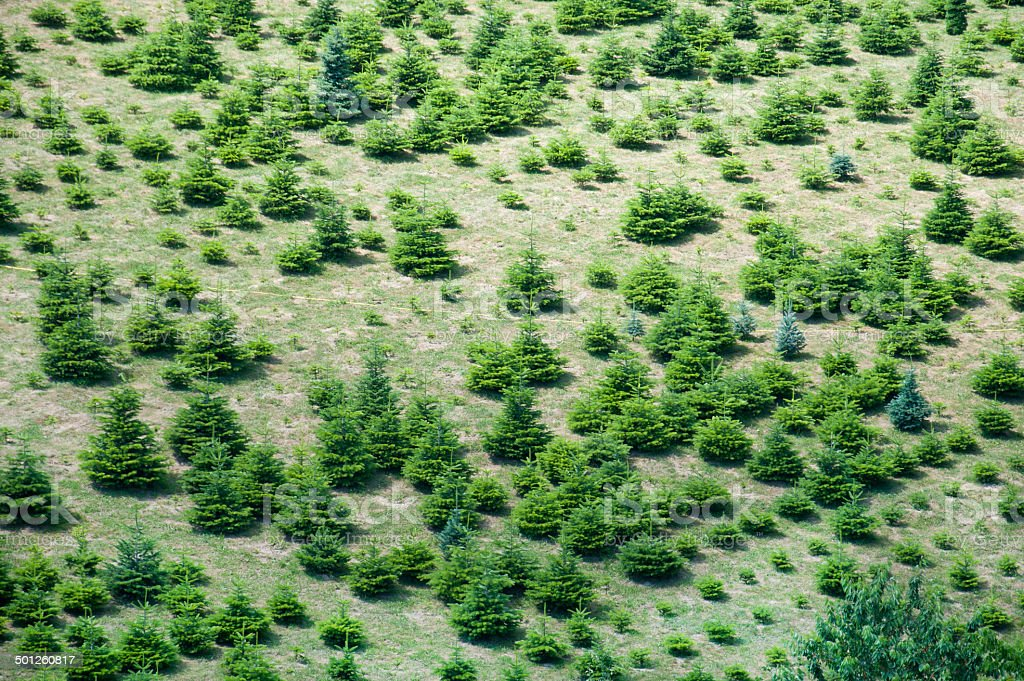 plantation of conifers seen from above royalty-free stock photo