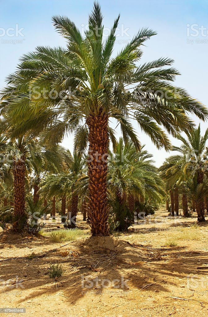plantation of date palms in Israel stock photo