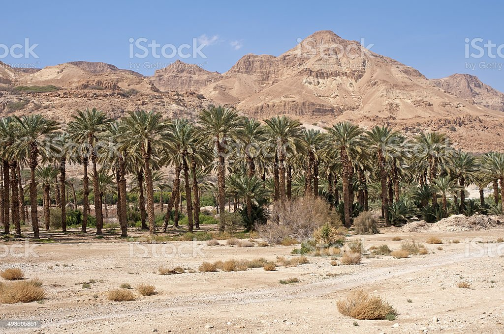 Plantation of date's palms in the desert royalty-free stock photo