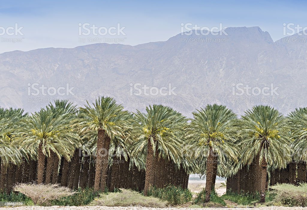 Plantation of date's palms near Eilat, Israel stock photo
