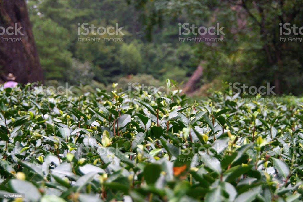 Plantation of famous Da Hong Pao (Big Red Robe) tea in Wuyi Mountain, China stock photo