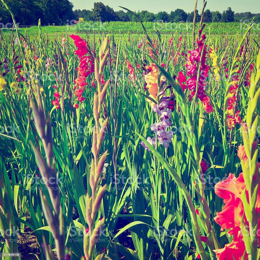 Plantation of Gladioli stock photo