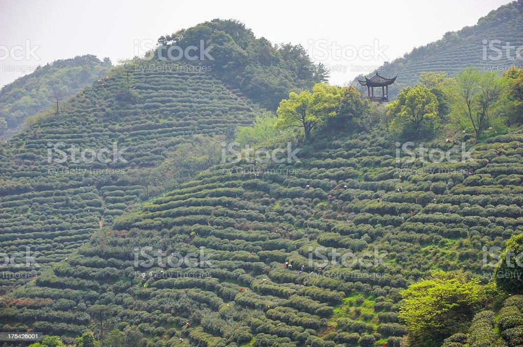 Plantation of longjing tea. stock photo