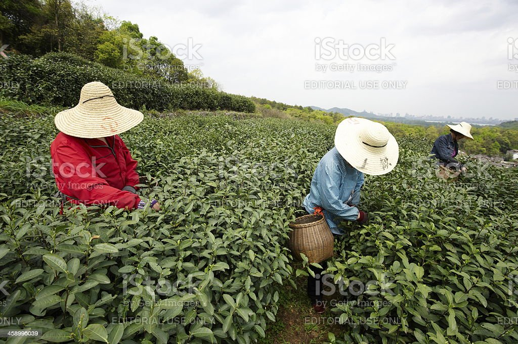 Plantation of longjing tea royalty-free stock photo