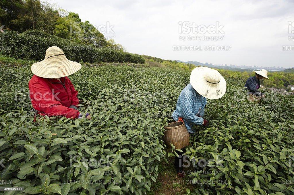 Plantation of longjing tea stock photo
