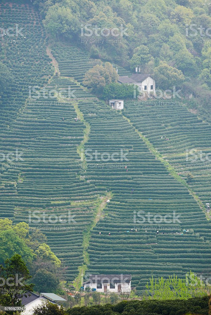 Plantation of longjing tea stock photo
