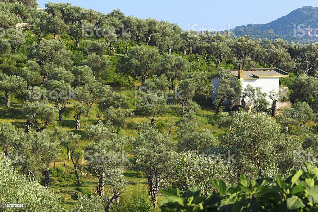Plantation of olive tree royalty-free stock photo
