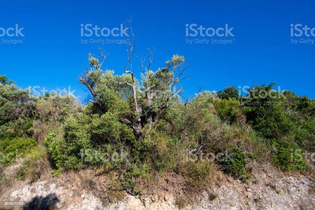 Plantation of olive trees stock photo