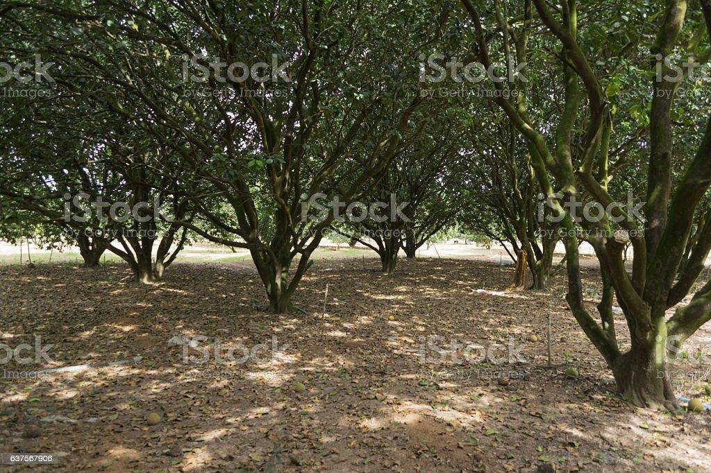 plantation of pomelo trees. stock photo