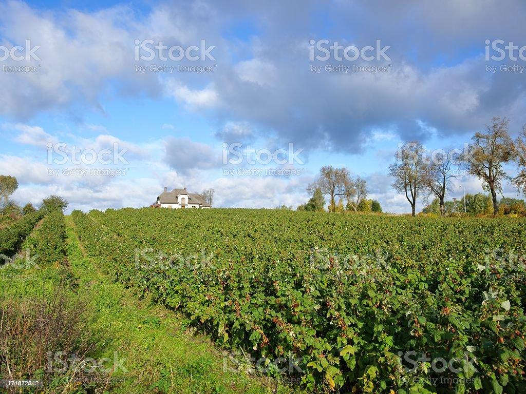 Plantation of Raspberries (Rubus idaeus L.), autumn royalty-free stock photo
