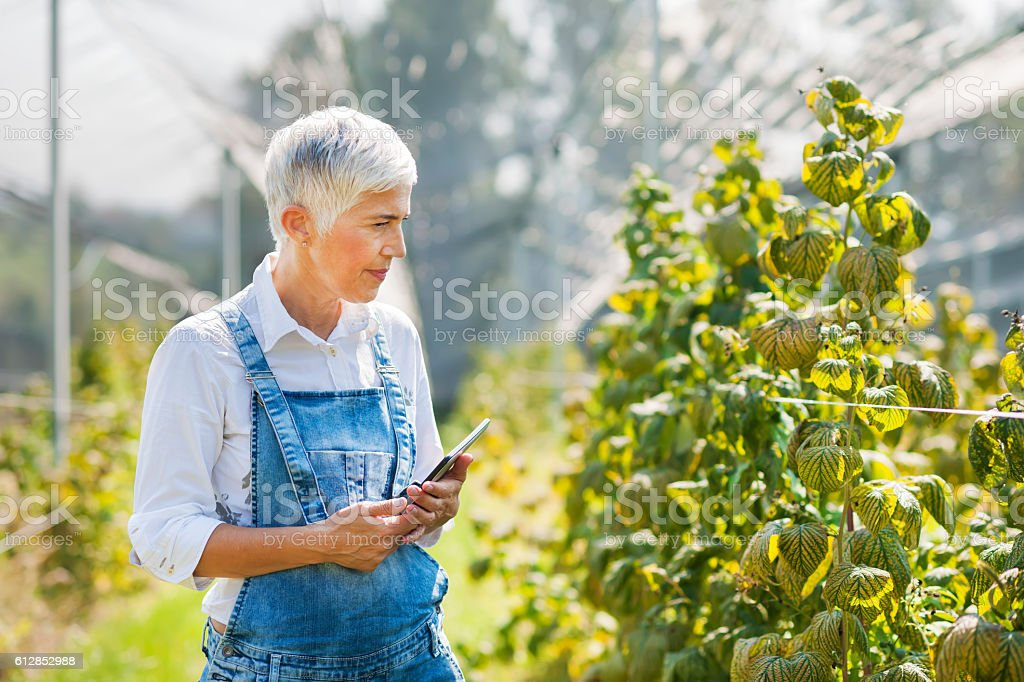 Plantation of raspberry stock photo