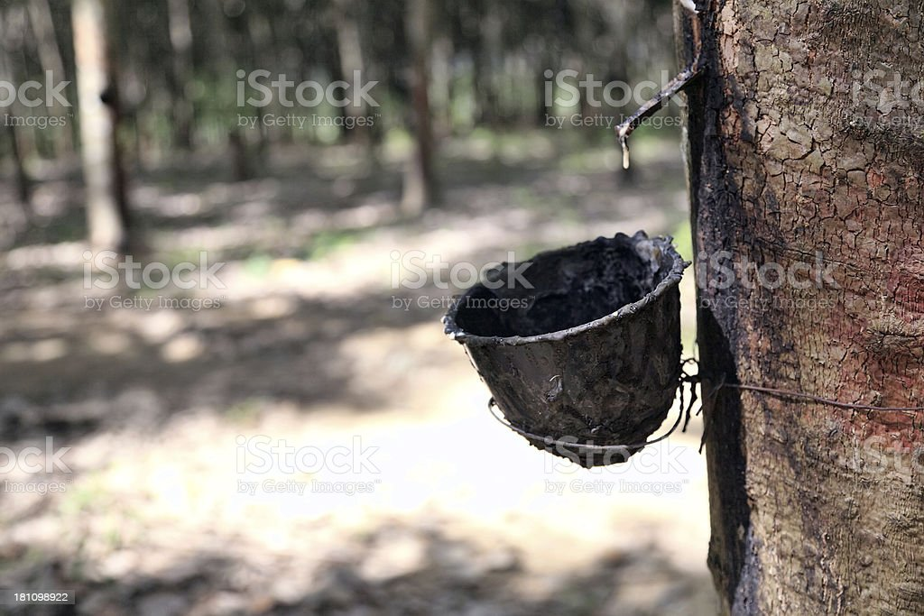 Plantation of rubber trees royalty-free stock photo