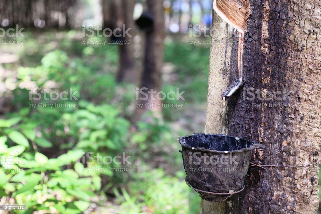 Plantation of rubber trees stock photo