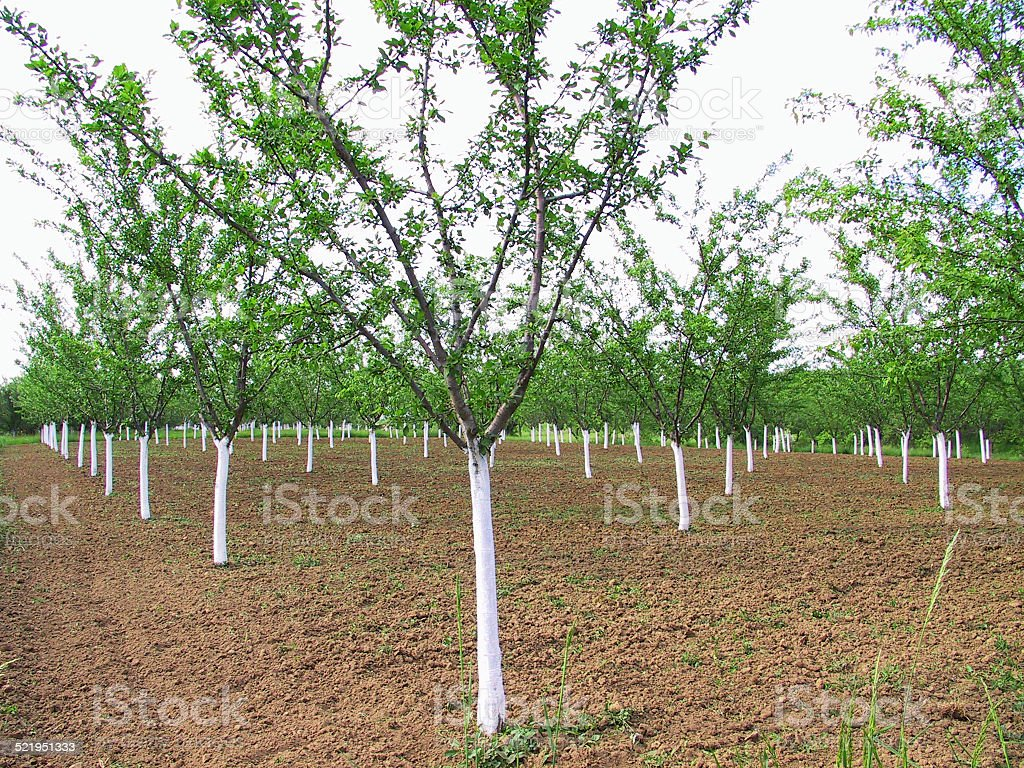 Plantation plum tree stock photo
