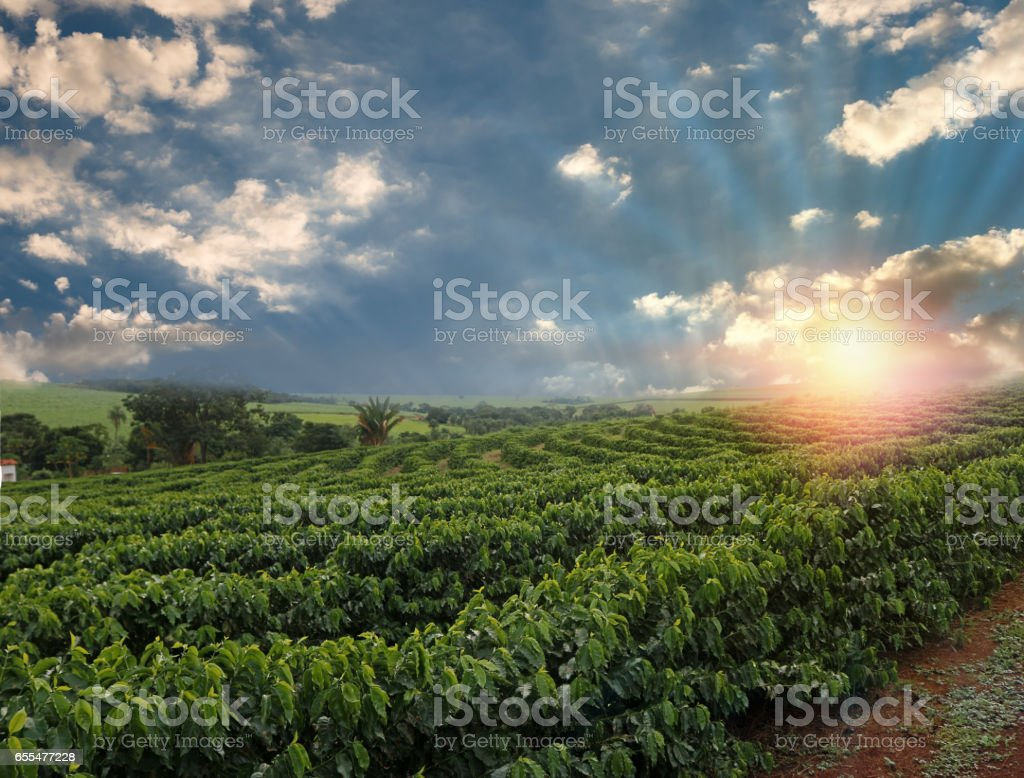 Plantation - Sunset at the coffee field landscape stock photo
