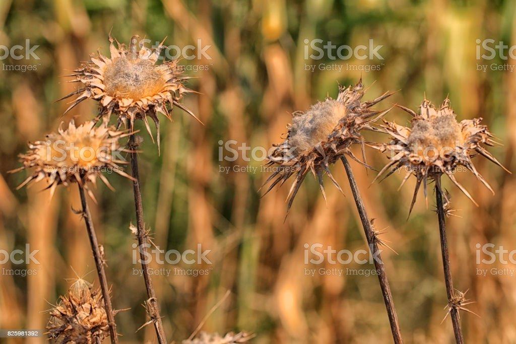 Plante sauvage sèche (Chardon) stock photo