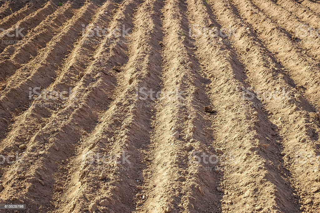 Planted in the ground potatoes. Ground Background stock photo